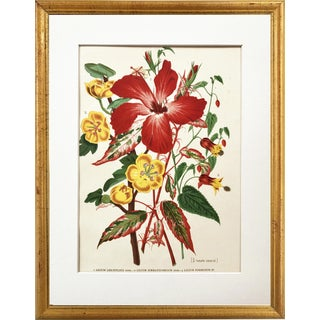 Antique Tropical Hibiscus Floral Botanical Print 1896