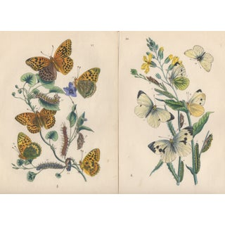 19th C. Hand Colored Butterfly Etchings - Pair