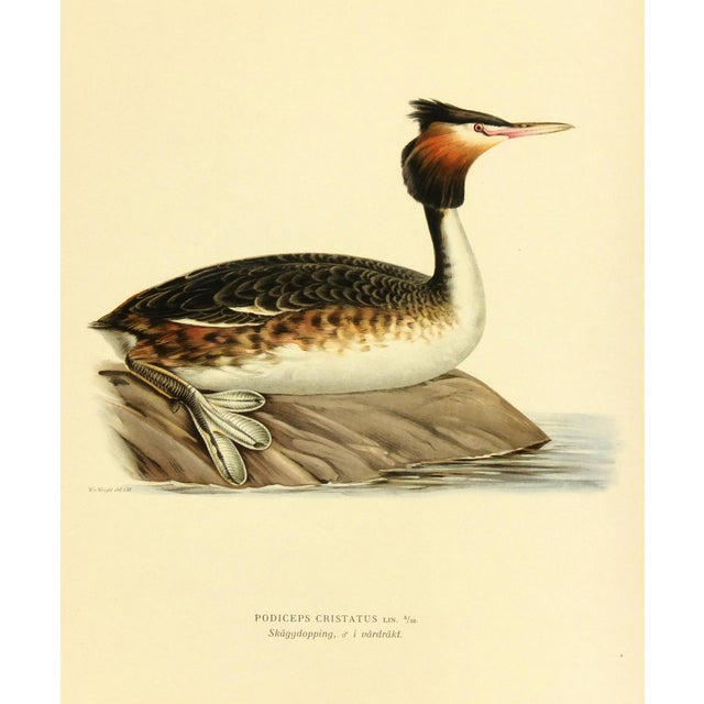 Image of Vintage 1929 Bird Print - Great Crested Grebe
