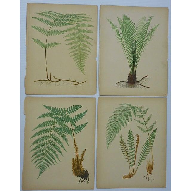 Antique Fern Chromolithographs- Set of 4 - Image 2 of 6