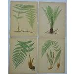 Image of Antique Fern Chromolithographs- Set of 4