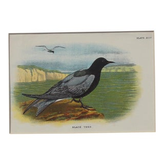 Antique 1890 Black Tern Chromolithograph