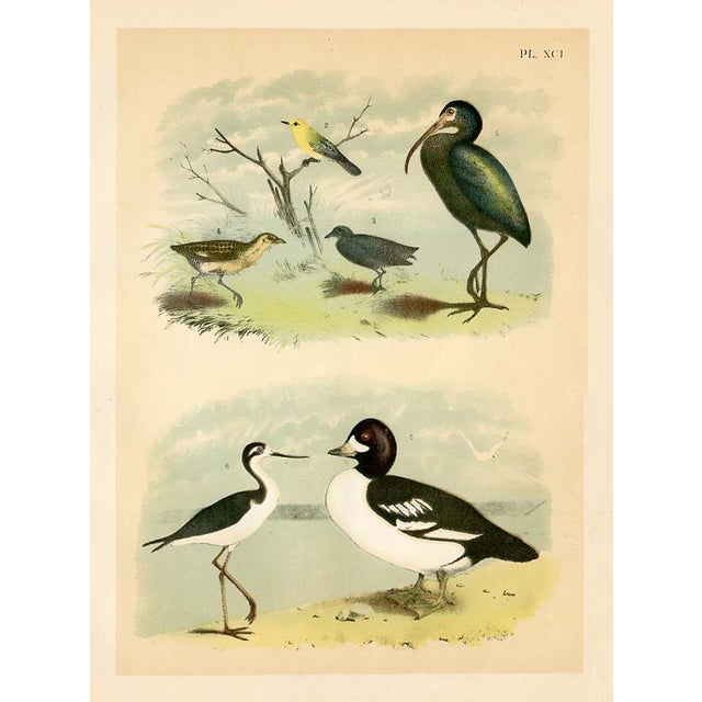 Image of 1878 Antique North American Bird Print