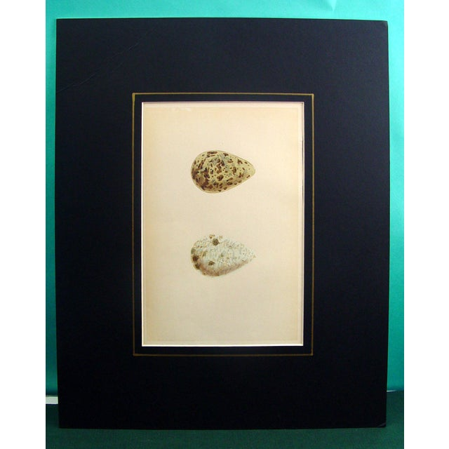 Image of Speckled Bird Eggs, Circa 1900 Lithograph