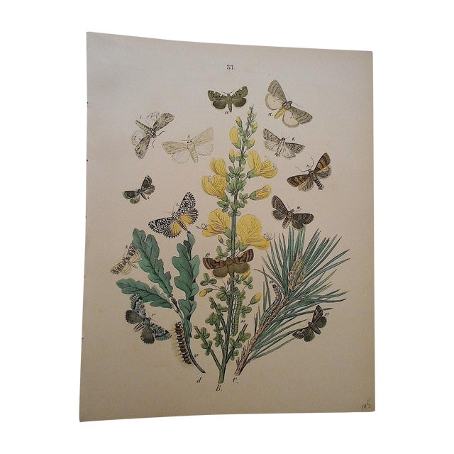 Antique Butterflies/Moths Lithograph - Image 1 of 3