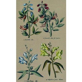 Italian Botanical Etching