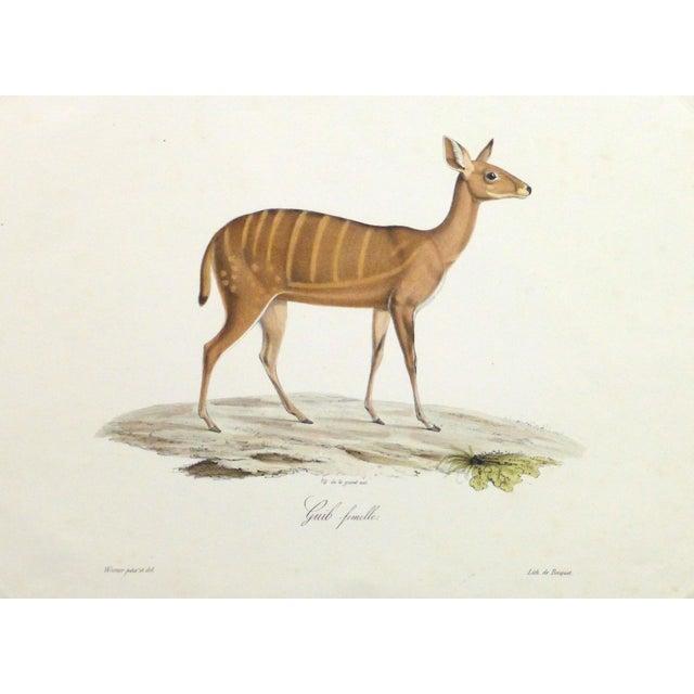 Image of 19th-Century Bushbuck Deer PrintEngraving