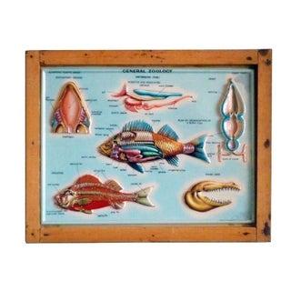 Vintage Italian Scientific School Chart - Fish