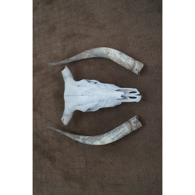 Genuine Texas Longhorn Natural Skull with Horns - Image 10 of 10