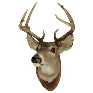 Vintage White Tail Deer Mount