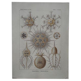 Sea Creatures Lithograph by Ernst Haeckel