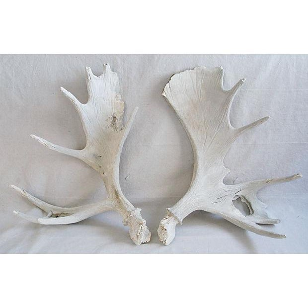 Large Naturally-Shed Moose Antlers - A Pair - Image 2 of 8