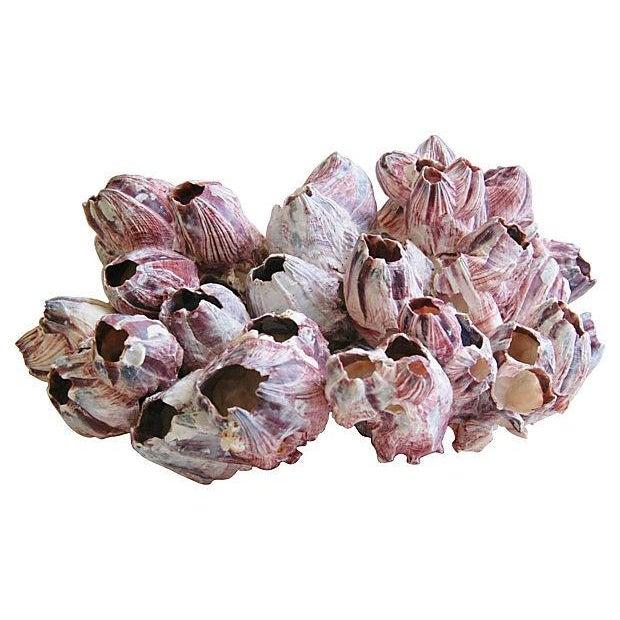 Large Natural Barnacle Cluster Specimen - Image 3 of 5