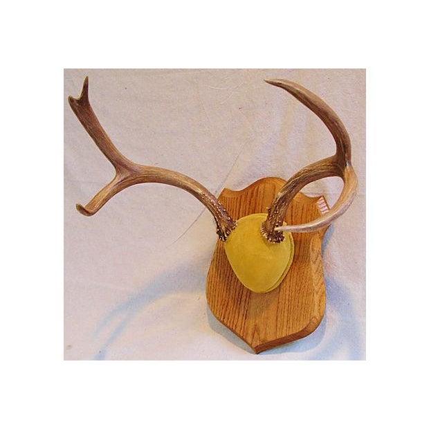 Mounted Trophy Deer Antlers on Wood Shield - Image 8 of 8