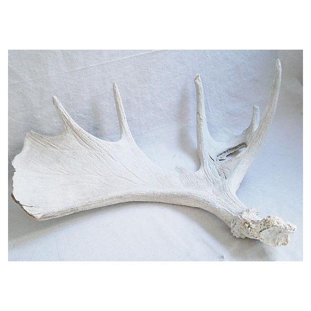 Large Naturally-Shed Moose Antlers - A Pair - Image 6 of 8
