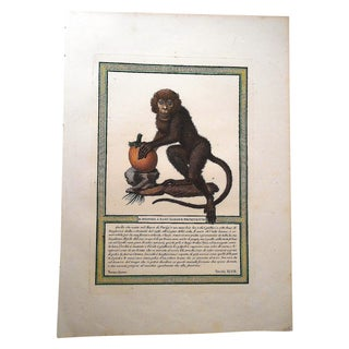 Antique Italian 18th C. Monkey Engraving Print