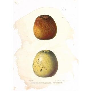 Original Antique of Apples, C. 1850