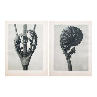Karl Blossfeldt Double Sided Photogravure N41-42