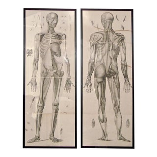 18th Century Anatomical Etchings