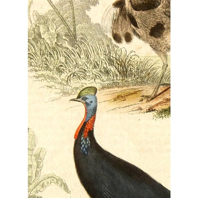 Image of Antique Rhea & Cassowary Engraving