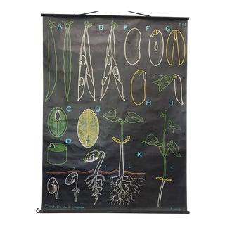 French Green Bean Dr. Auzoux Botanical Chart