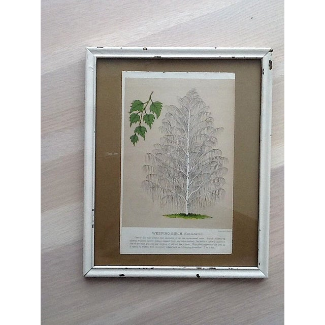 Vintage Birch Tree Chromolithograph - Image 2 of 4