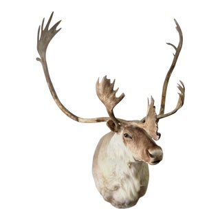 Stately Elk Head Full Shoulder Taxidermy Mount