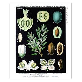 Botanical Olive Tree Diagram Print Poster