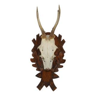 Roe Deer Antler Trophy