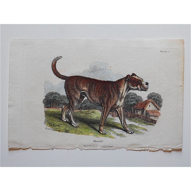 Image of Antique English Mastiff Engraving