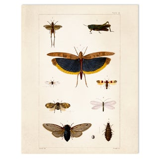 Vintage Science Print - Insects Crickets Moths
