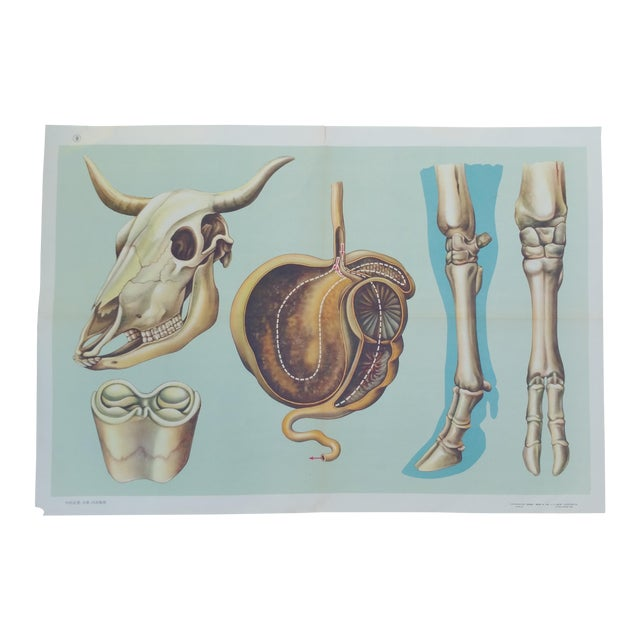 Vintage Anatomy of a Cow Poster - Image 1 of 4