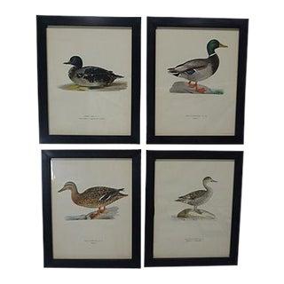 1929 Swedish Waterfowl Prints - Set of 4