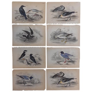 Antique Shore Bird Engravings - Set of 8