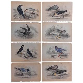 Antique Shore Bird Engravings - Set of 8