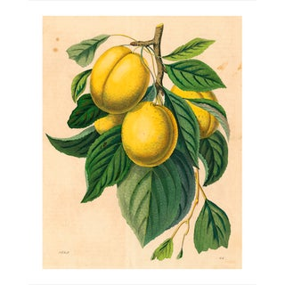 Vintage Yellow Plum Branch Archival Print