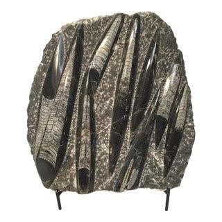 Orthocerus Display Fossil