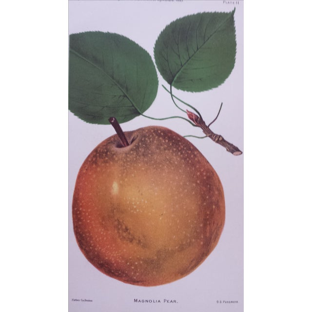 Antique 1893 Magnolia Pear Lithograph - Image 3 of 3