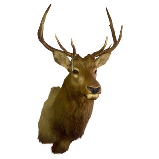 Rocky Mountain Elk Taxidermy Mount