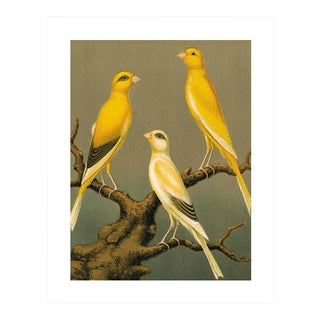 Antique '3 Yellow Canaries' Archival Print