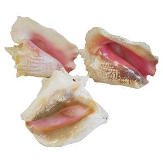 Natural Conch Seashells - Set of 3