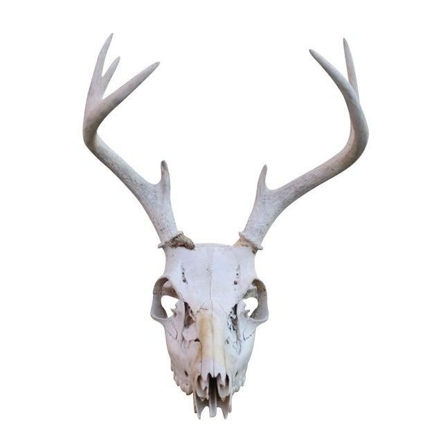 4-Point Deer Skull - Image 1 of 3