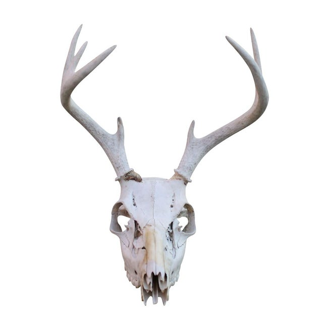 Image of 4-Point Deer Skull