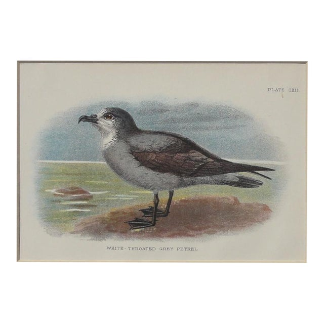 White Throated Grey Petrel Print, 1890 - Image 1 of 4