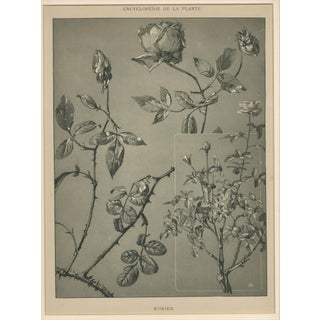 """M. Millard """"Roses"""" Art Nouveau Botanical Drawing, Circa 1902"""