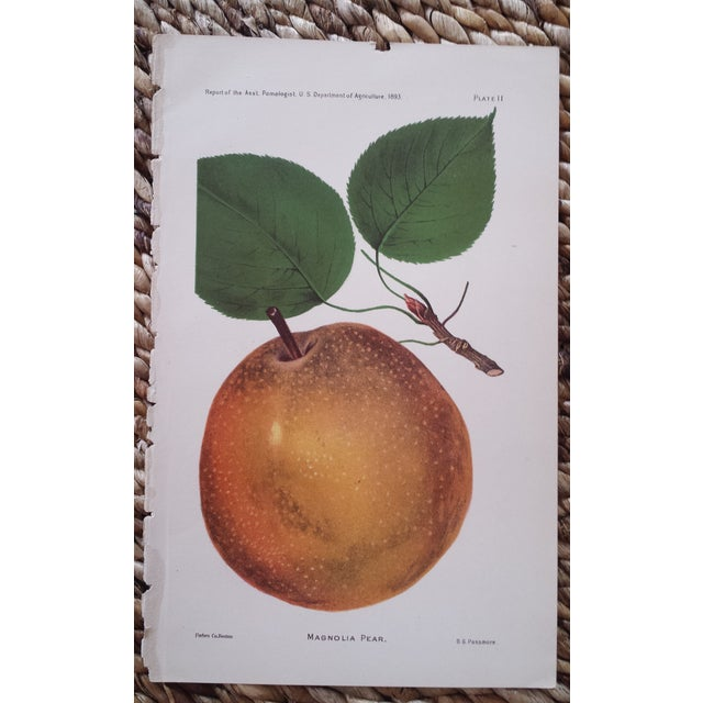 Antique 1893 Magnolia Pear Lithograph - Image 2 of 3