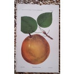 Image of Antique 1893 Magnolia Pear Lithograph
