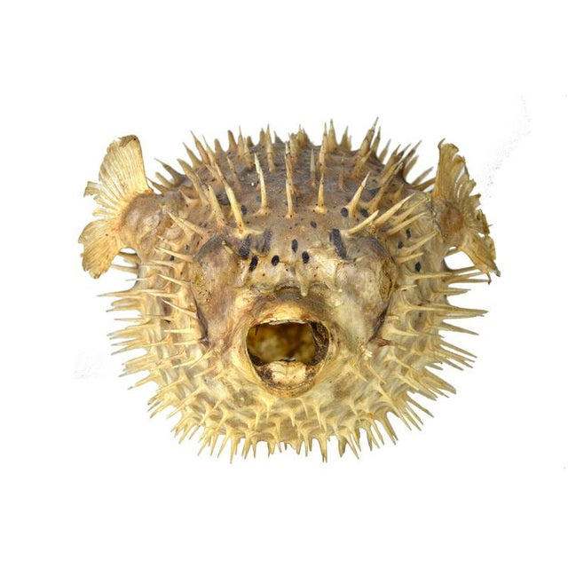 Exotic puffer fish chairish for Puffer fish for sale
