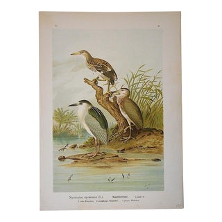 Antique Bird Lithograph - Water & Shore Birds