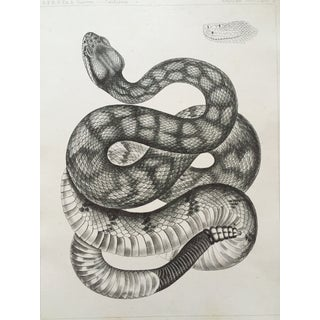 Antique California Rattlesnake Lithograph
